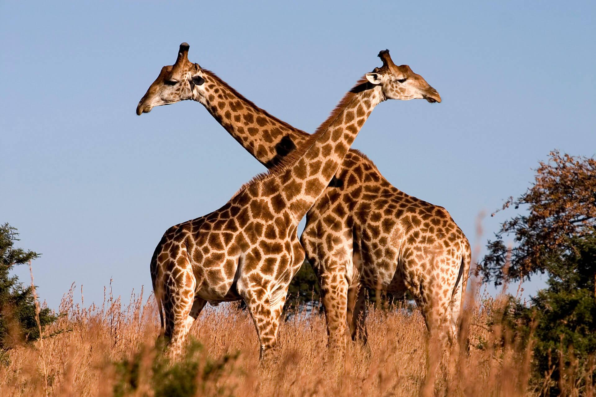 5e7713017e2cf Ak sa povie Afrika, ako prvé sa vám možno vybaví safari. A ktoré safari je  najlepšie? Kde najľahšie uvidíte zvieratá? V tomto článku vám chcem  predstaviť ...