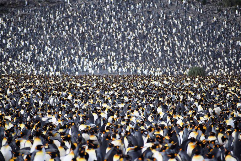 Pól miliónová kolónia tučniakov